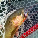 Cutthroat trout and skwala Montana Bitterroot river